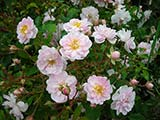 'Paul's Himalayan Musk Rambler', origine incertaine, G. Paul (Grande-Bretagne), 1913 / 1916