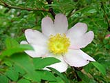 <i>Rosa roxburghii 'normalis'</i>, sub-guinus platyrhodon, introduced from Setchuan by Wilson, introduced in culture in 1908