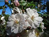 <i>Rosa sempervirens</i>,, Southern Europe, North Africa, very old