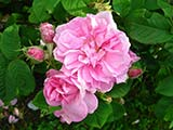 <i>Rosa x damascena 'semperflorens'</i>, Damas, obtenteur inconnu (Perse), Antiquité